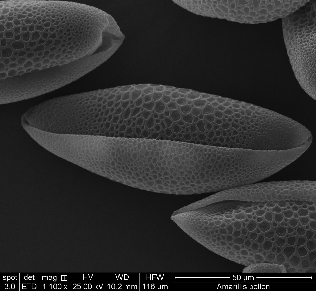 Pollen grains from the amaryllis flower vcr university for Amaryllis graine
